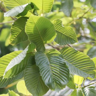 how to grow a kratom tree