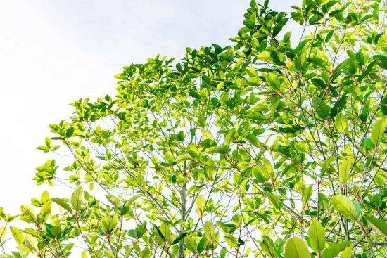 kratom tree 2