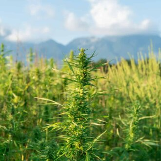 close up of hemp field