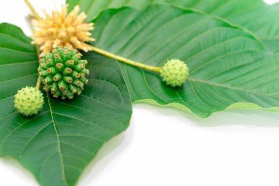 Mitragyna Speciosa Korth (kratom) plant