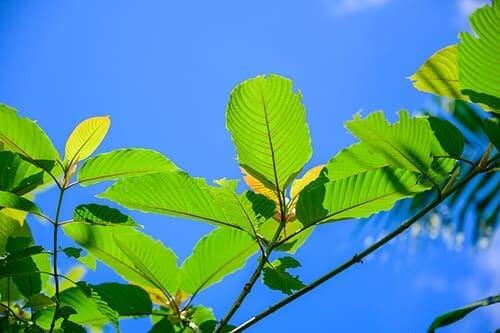 tips on buying kratom and kratom tree