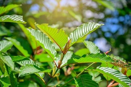 Kratom leaves in sun