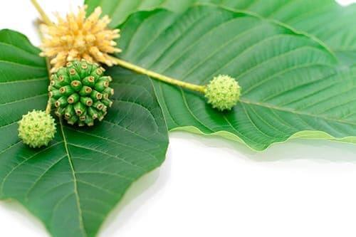 kratom plant and flower