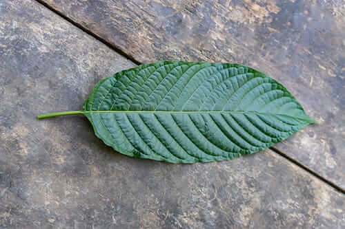 kratom leaf with red veins