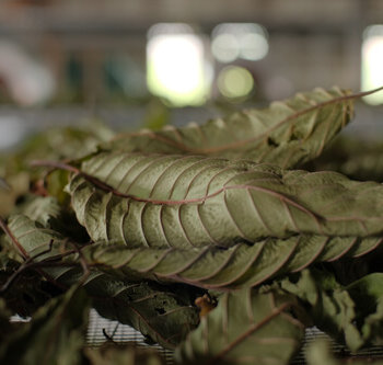 The Different Methods of Harvesting and Drying Kratom